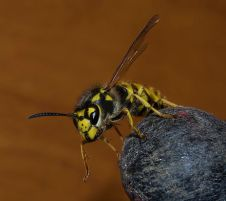 440px-Wasp_3