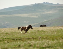 Dartmoor_pony_foal_1